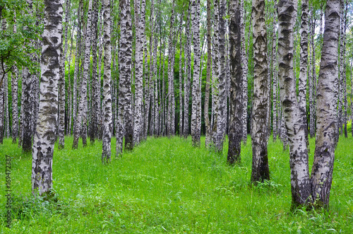Fotobehang Berkenbos White birch trees in the forest in summer, green grass, birch grove