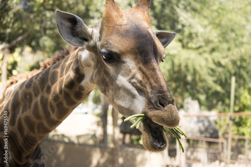 Giraffe eating Poster