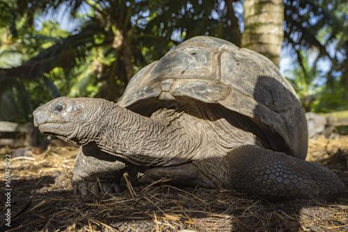 Aluminium Schildpad Giant Tortoise on the seychelles