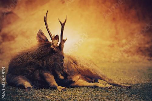 Fotobehang Hert sambar deer lying on wilderness field