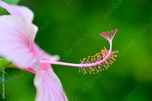 Macro of hibiscus pollen. Poster