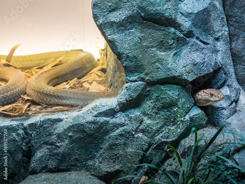Portrait of King cobra hiding in the shelter Poster