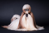 Shih tzu dog portrait at studio - 169528934