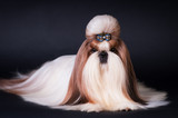 Shih tzu dog portrait at studio - 169529129