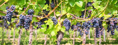 Fotobehang Wijngaard Close up on red black grapes in a vineyard, panoramic background, grape harvest concept