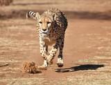 Cheetah exercising - 169533911