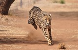 Cheetah exercising - 169533918