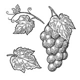 Bunch of grapes with berry and leaves. Vintage engraving vector - 169537513