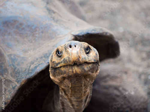 Aluminium Schildpad Galapagos Giant Tortoise