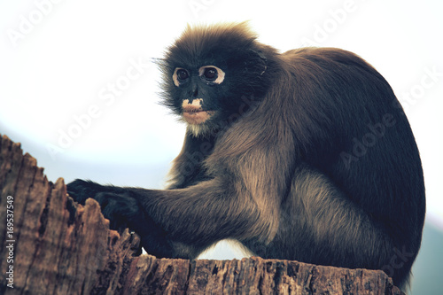 close up full body of dusky leaf monkey on tree stump Poster