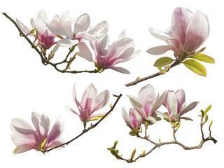 Magnolia Flowers on white background