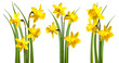 canvas print picture - Daffodils isolated on white