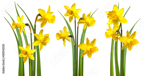 canvas print picture Daffodils isolated on white
