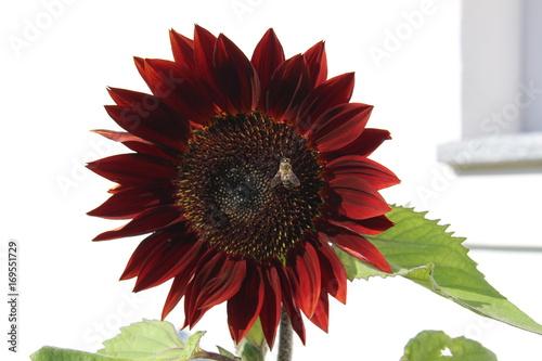 Fotobehang Gerbera rote Sonnenblume mit Biene