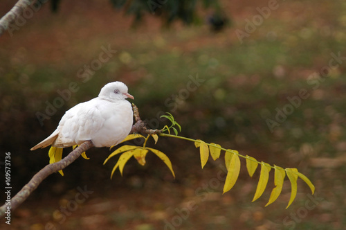 sleeping white dove on a tree branch