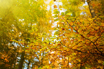 Autumn background with yellow maple leaves.