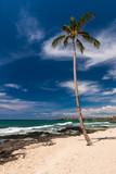 Coconut Palm Tree at a Hawaiian Beach, Big Island