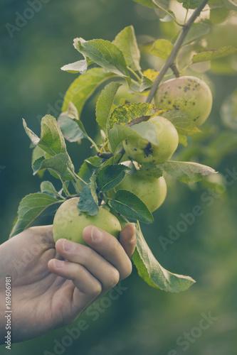Farmer Adult Man Picking Fresh Apples in Garden Toning