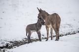Jenny and donkey foal in snow near sream - 169625313