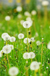 white Dandelions on a meadow, vertical