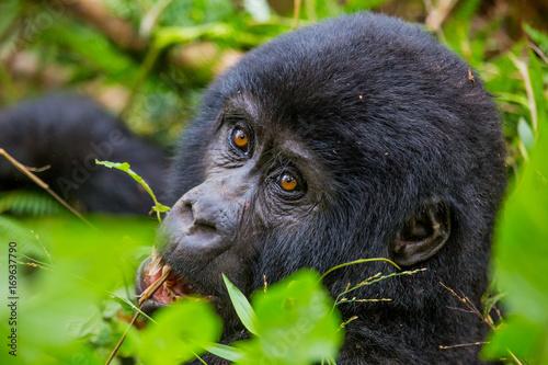 Berggorilla im Regenwald von Uganda Poster
