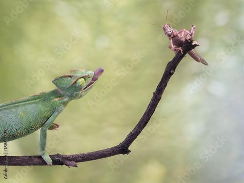 kameleon polujący na owady. Zielone tło, przyrody