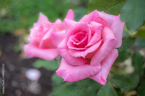 Poster Bridal Pink; Floribunda Rose, Pink Rose Made by Boerner in USA, 1967