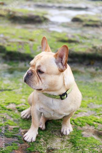 Fotobehang Franse bulldog French Bulldog sitting in rocky coastline covered with algae. Davenport, Santa Cruz County, California, USA.