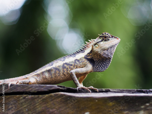 Fotobehang Kameleon close up lizard beautiful patterned are sun on the timber is so dogmatism