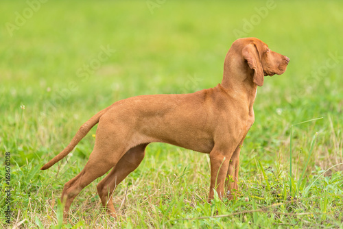 Hungarian Vizsla dog portrait