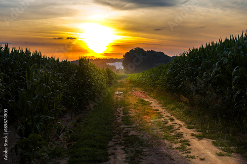 A romantic sunset in the cornfield. On the way to the sun. Poster