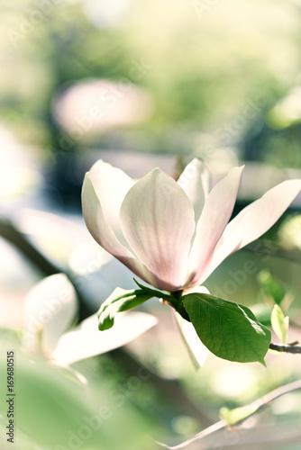 Magnolia Blossom © B. and E. Dudziński