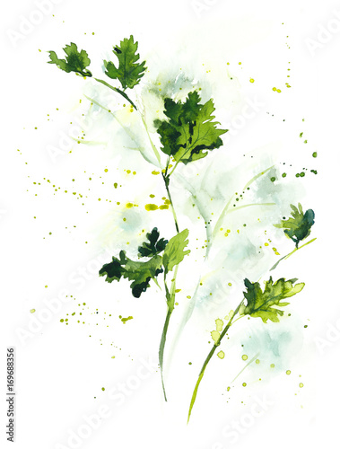 Parsley, cilantro. Watercolor hand drawn illustration
