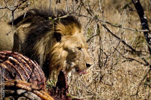 Fotobehang Lion Lion and baby giraffe killing