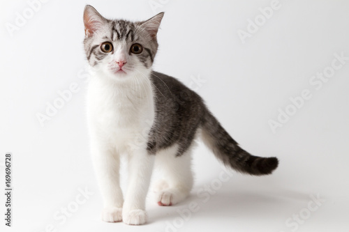 Scottish Straight kitten bi-color spotted staying four legs against a white background