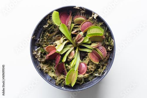The Venus flytrap (also referred to as Venus's flytrap or Venus' flytrap), Dionaea muscipula, is a carnivorous plant Poster