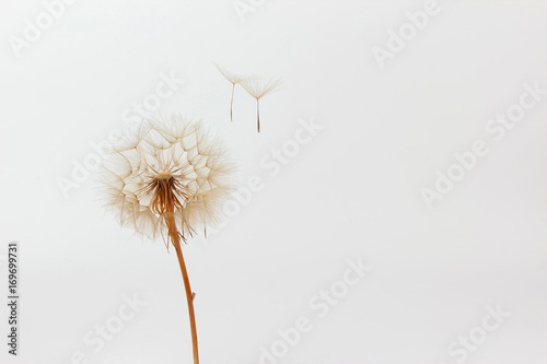 Fotobehang Paardebloemen dandelion and its flying seeds on a white background