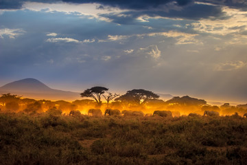 Migration of elephants. Herd of elephants. Evening in the African savannah.