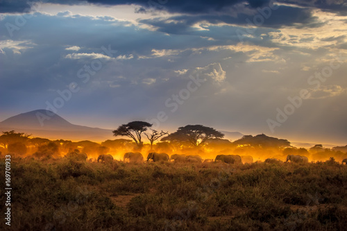 Migration of elephants. Herd of elephants. Evening in the African savannah. © Grispb