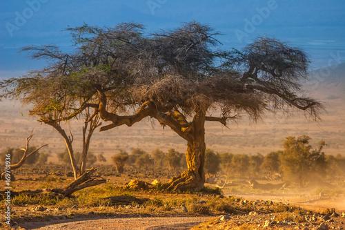 Fotobehang Baobab Old tree. Trees of Africa. A tree in the savannah.