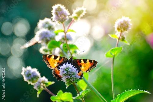 Motyl na mięty pieprzowej