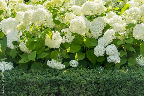 Foto Spatwand Hydrangea Blooming white hydrangea
