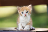 red and white kitten portrait outdoors