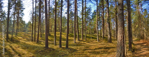 Pine forest - 169708192