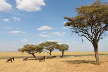 Elefanten ziehen durch die Steppe unter Akazienbäumen in der Serengeti, Ostafrika