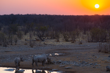 Rare Black Rhinos drinking from waterhole at sunset. Wildlife Safari in Etosha National Park, the main travel destination in Namibia, Africa.
