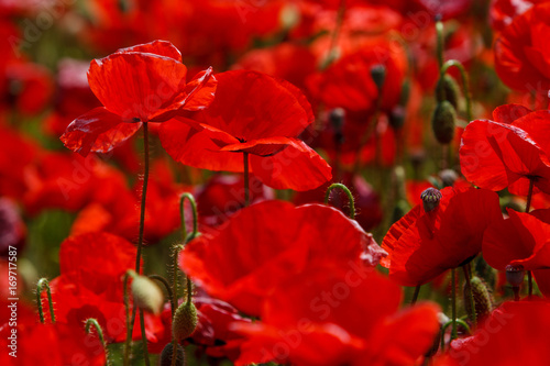 Fotobehang Rood traf. Poppy field near Uzhgorod, Transcarpathia, Ukraine