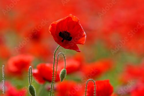 Tuinposter Rood Poppy field near Uzhgorod, Transcarpathia, Ukraine