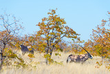 Oryx hiding in the bush. Wildlife Safari in the Mapungubwe National Park, travel destination in South Africa.