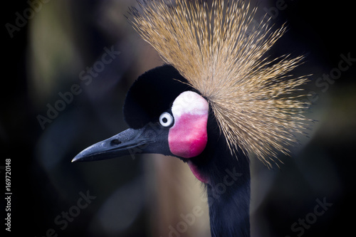 colorful crowned crane bird - 169720148